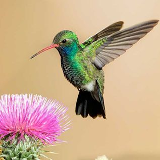 Broad-billed Hummingbird, Male, on Web Site for Steve Kaye, Professional Speaker and Photographer