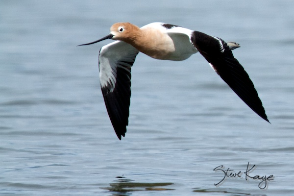 American Avocet, Annual Report 2013, by Steve Kaye