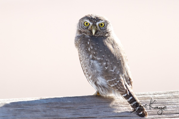 Northern Pygmy-Owl, Annual Report 2013, by Steve Kaye