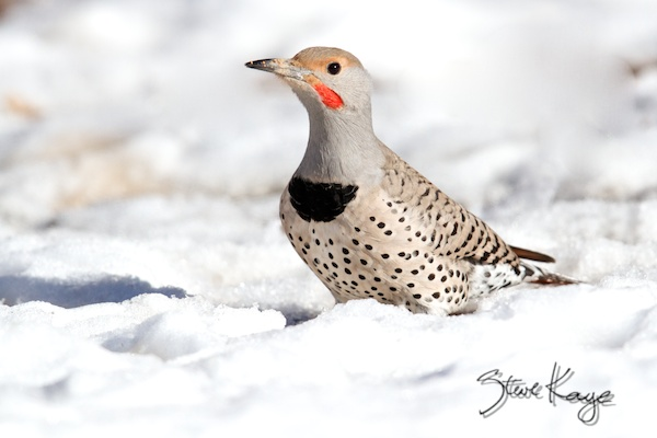 Red-shafted Northern Flicker Male