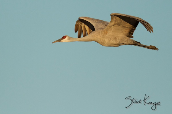 Sandhill Crane Flying, Annual Report 2013, by Steve Kaye