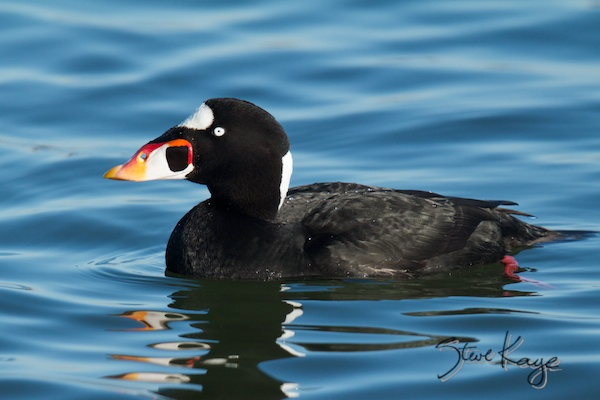 Surf Scoter, Annual Report 2013, by Steve Kaye