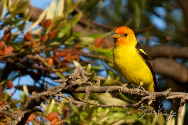 Western Tanager, Annual Report 2013, by Steve Kaye