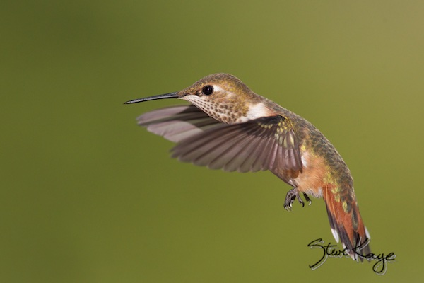 Rufous-hatch year male