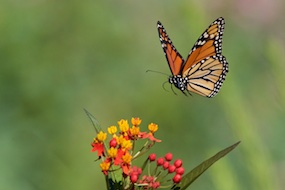 Monarch Butterfly Flying to a Milkweed, Photo by Steve Kaye