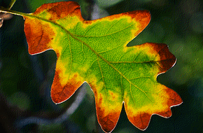 Oak Leaf, photo by Steve Kaye