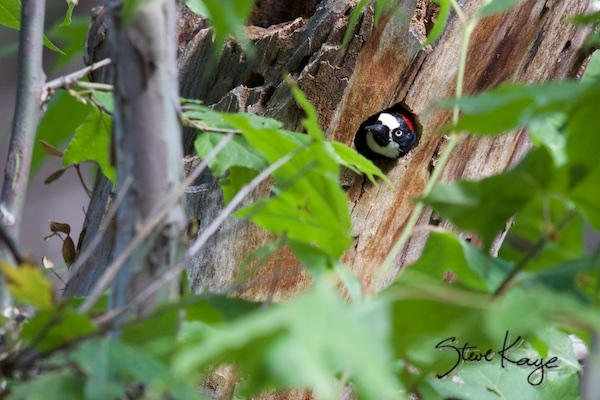 Acorn Woodpecker, Female, Looking out of a Nest Cavity, in Cavity Nesting Birds