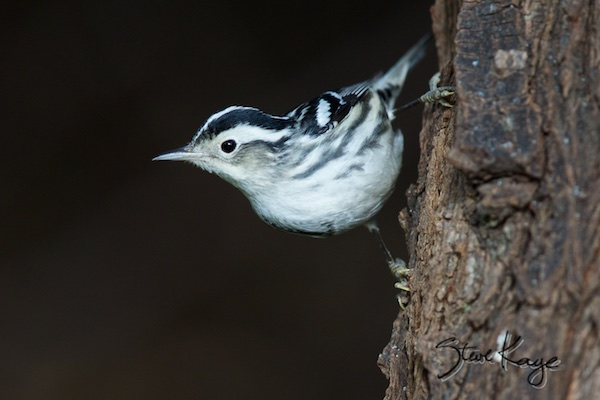 Black-and-white Warbler, in Bird Photos 1, Photo by Steve Kaye