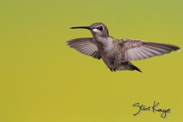 Black-chinned Hummingbird, Female, (c) Photo by Steve Kaye, in post Gift of Kindness