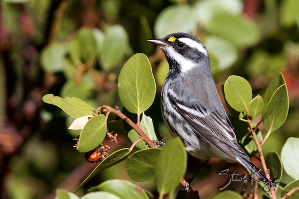 Black-throated Gray Warbler, in Bird Photos 1, Photo by Steve Kaye