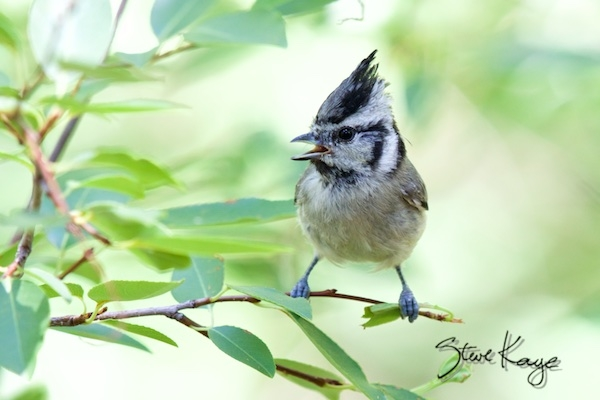 Bridled Titmouse, in Bird Photos 1, Photo by Steve Kaye
