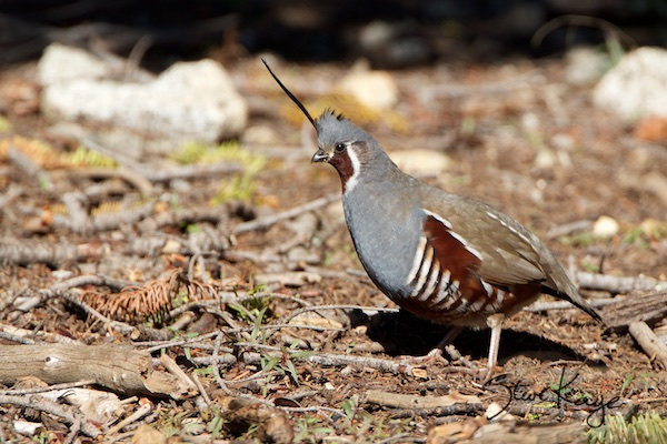 Mountain Quail, Male, in Bird Photos 1, Photo by Steve Kaye
