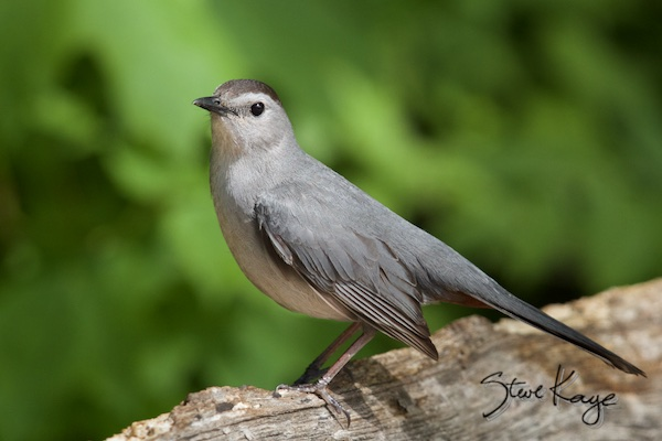 Gray Catbird, in Bird Photos 1, Photo by Steve Kaye