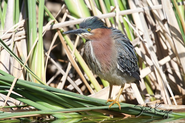 Green Heron, in Bird Photos 1, Photo by Steve Kaye