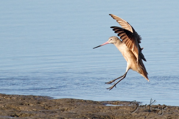 Marbled Godwit, Landing, in Bird Photos 1, Photo by Steve Kaye