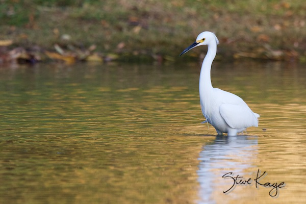 Snowy Egret, (c) Photo by Steve Kaye, in blog Know the Neighborhood