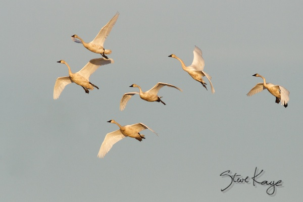 Tundra Swan, in Bird Photos 1, Photo by Steve Kaye