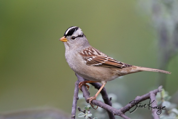 White-crowned-Sparrow, , in Bird Photos 1, Photo by Steve Kaye