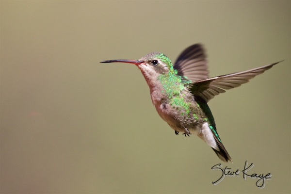 Broad-billed Hummingbird, Female, Flying, (c) Photo by Steve Kaye, in Steve Kaye's Annual Report for 2015