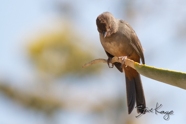 California Towhee, in Funny Birds, (c) Photo by Steve Kaye