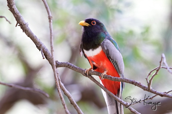 Elegant Trogon, Male, (c) Photo by Steve Kaye, in Steve Kaye's Annual Report for 2015