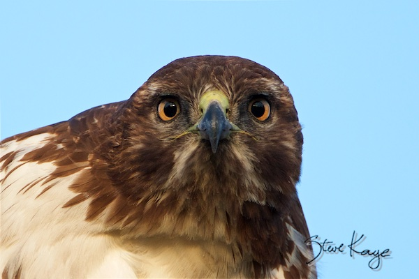 Red-tailed Hawk, in Birds Up Close, (c) Photo by Steve Kaye