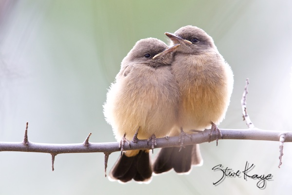 Pair of Say's Phoebe Juveniles, (c) Photo by Steve Kaye, in 27 Ways to Show Kindness