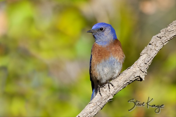 Western Bluebird, Male, (c) Photo by Steve Kaye, in blog post wonderful success story