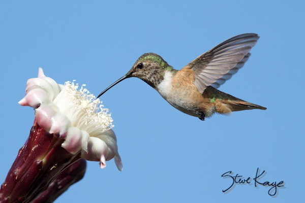 Allen's Hummingbird, Female, Flying, (c) Photo by Steve Kaye, in How to Take Photos of Hummingbirds