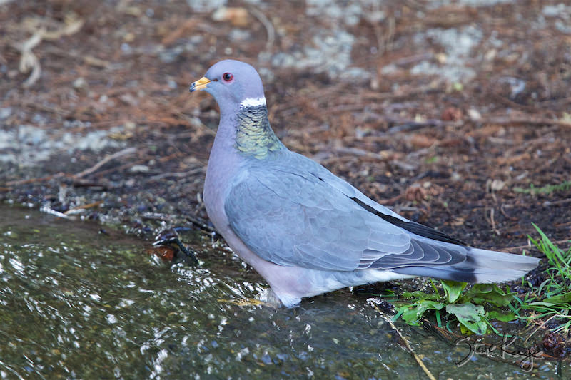 Band-tailed Pigeon, (c) Photo by Steve Kaye