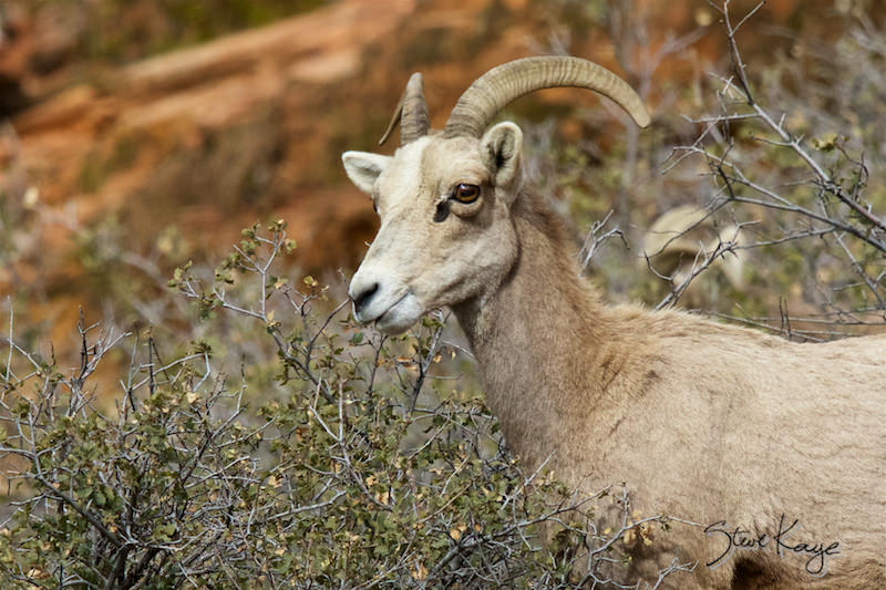 Bighorn Sheep, (c) Photo by Steve Kaye
