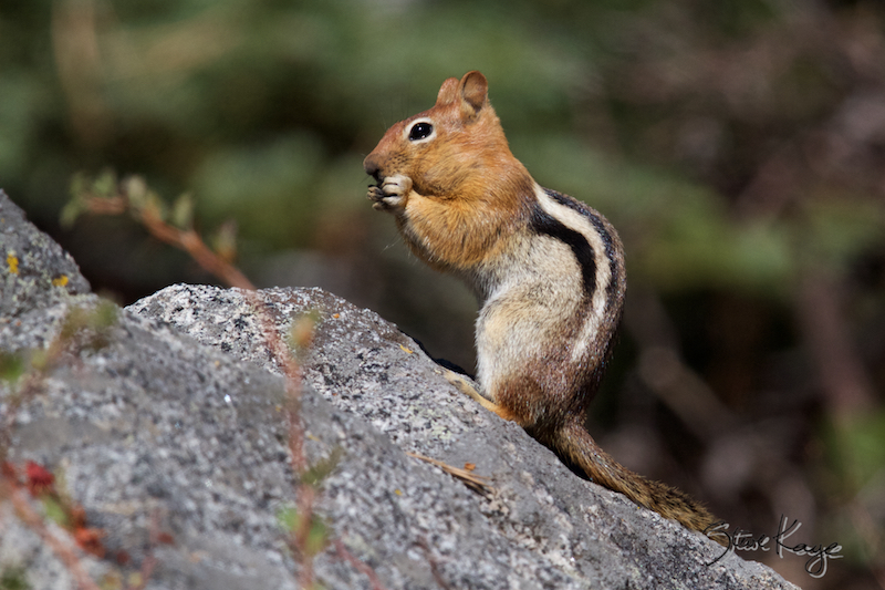 Golden-mantled Ground Squirrel, (c) Photo by Steve Kaye, in Wildlife Photos