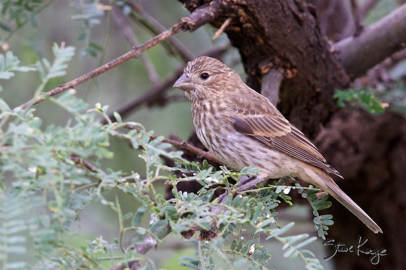 House Finch Female, (c) Photo by Steve Kaye, in article: Fullerton Arboretum Birds