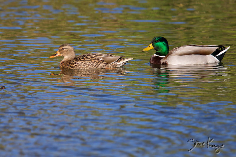 Mallards, Female (Lt) and Male (Rt), (c) Photo by Steve Kaye