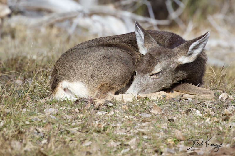 Mule Deer, Napping, (c) Photo by Steve Kaye, in Wildlife Photos