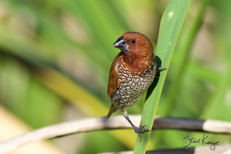 Scaly-breasted Munia, Adult, (c) Photo by Steve Kaye, in blog post This Small Bird Has Too Many Names