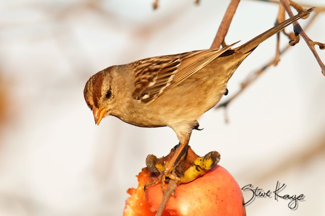 White-crowned Sparrow, Juvenile, (c) Photo by Steve Kaye