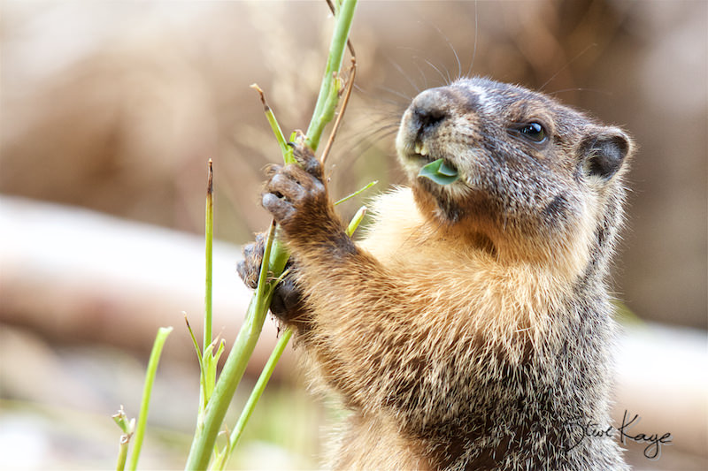 Yellow-bellied Marmot, (c) Photo by Steve Kaye, in Wildlife Photos