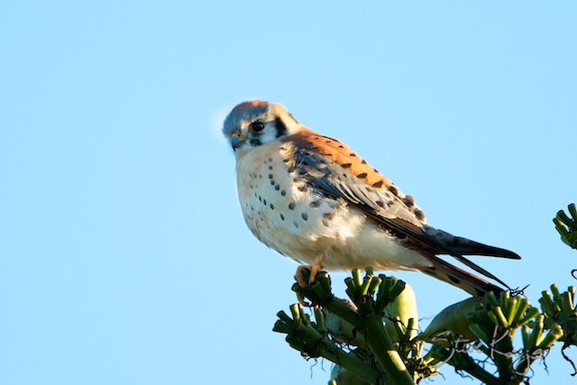 American Kestrel, (c) Photo by Steve Kaye