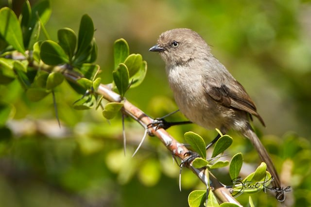 Bushtit, Female, (c) Photo by Steve Kaye, in photo article: Fullerton Arboretum Birds