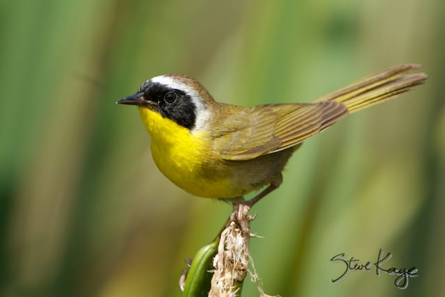 Common Yellowthroat, Male, (c) Photo by Steve Kaye