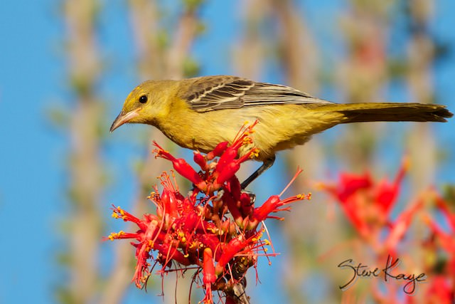 Hooded Oriole, Female, (c) Photo by Steve Kaye