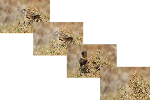 Marsh Wren Photo Sequence Lasting 0.4 sec, (c) Photo by Steve Kaye, in Post: How to Photograph a Marsh Wren