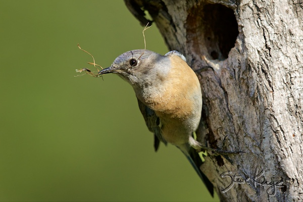 Western Bluebird, Female, at Tree Cavity, (c) Photo by Steve Kaye