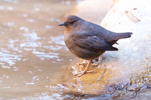 American Dipper, (c) Photo by Steve Kaye, in fluffed up birds
