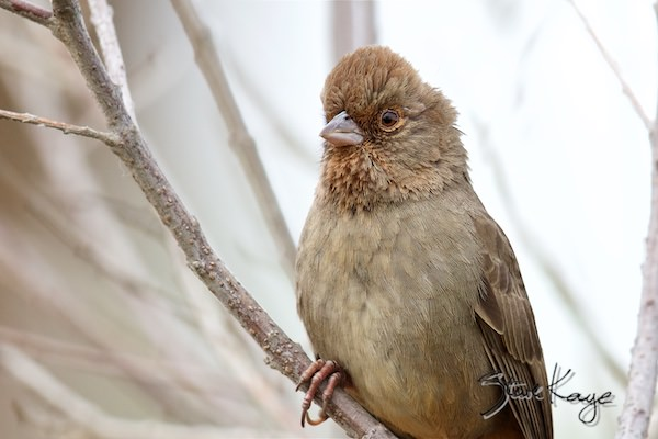 California Towhee, in fluffed up birds, (c) Photo by Steve Kaye