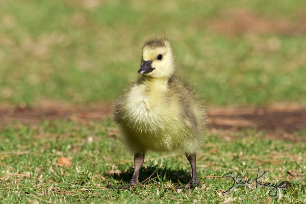 Canada Goose Gosling, in fluffed up birds, (c) Photo by Steve Kaye