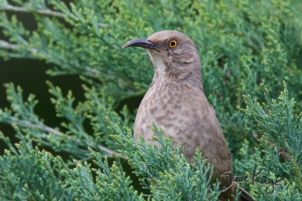 Curve-billed Thrasher, (c) Photo by Steve Kaye, in Birds Up Close