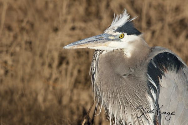 Great Blue Heron, in fluffed up birds, (c) Photo by Steve Kaye