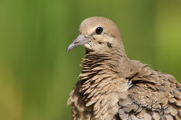 Mourning Dove, in fluffed up birds, (c) Photo by Steve Kaye